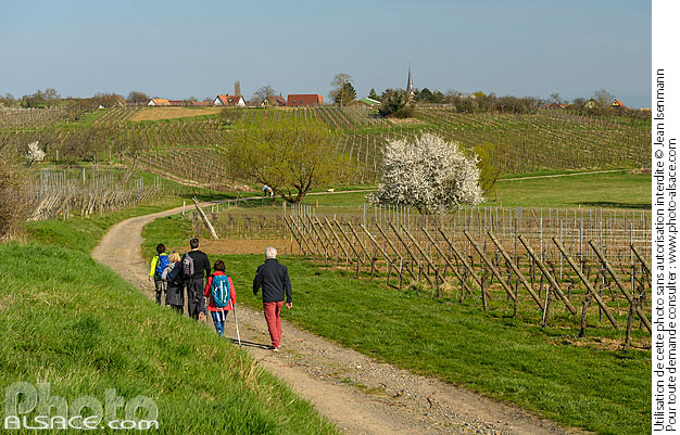 Photo : Bas-Rhin (67), Bernardswiller, Randonneurs sur le chemin Krittweg au milieu du vignoble au printemps // FRANCE, Bas-Rhin (67), Bernardswiller, Hikers on the Krittweg path in the middle of the vineyard - (ref. 170326-058) © Jean Isenmann
