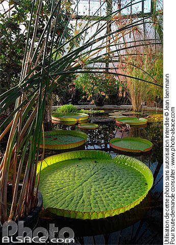 Photo n nuphar g ant victoria amazonica serre de bary jardin botanique strasbourg bas - Jardin botanique de strasbourg ...