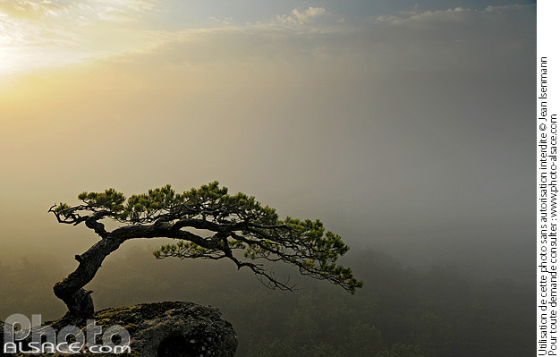 Photo : Solitary pine in the mist at Rocher Belle Vue