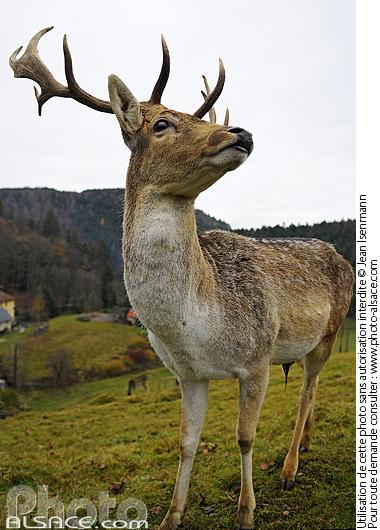 Daim (en captivit�), Le Hohwald, Bas-Rhin (67)