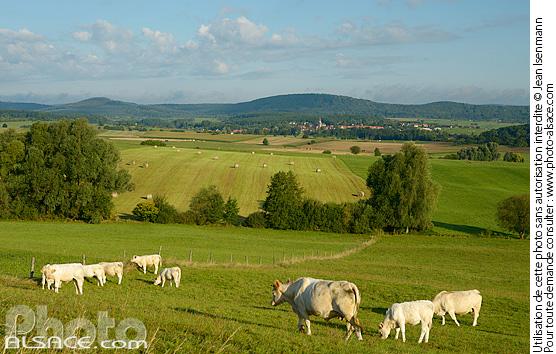 Photo vaches charolaises et paysage agricole des vosges - Comptoir agricole bas rhin ...
