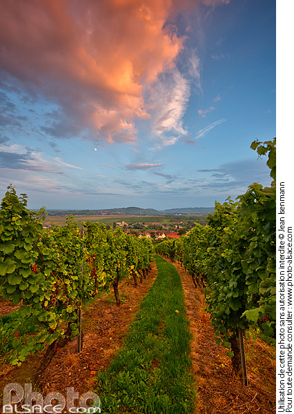 Photo : Vignoble de Wangen, Bas-Rhin (67) - (ref. 140905-010) © Jean Isenmann