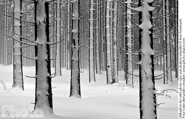 Photo : Bas-Rhin (67), Barr, Forêt de Barr, Troncs d'arbre et sous-bois recouvert de neige en hiver // FRANCE, Bas-Rhin (67), Barr, Barr Forest, Tree trunks in forest under snow in winter - (ref. 160116-043) © Jean Isenmann