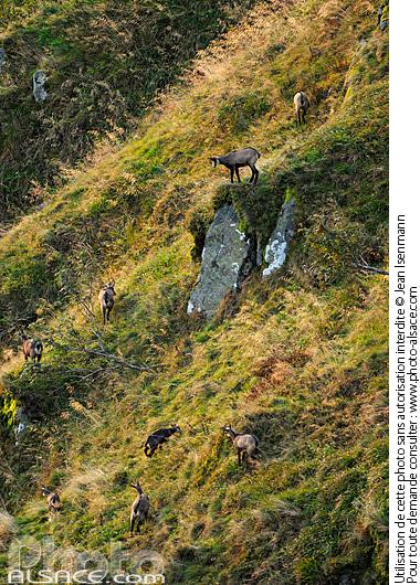 Chamois (Rupicapra Rupicapra), Hohneck, Parc naturel r�gional des Ballons des Vosges, Haut-Rhin (68)