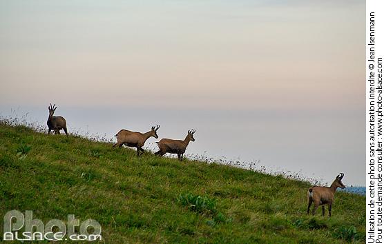 Chamois (Rupicapra rupicapra) sur les pentes du Hohneck, Parc naturel r�gional des Ballons des Vosges, Haut-Rhin (68)