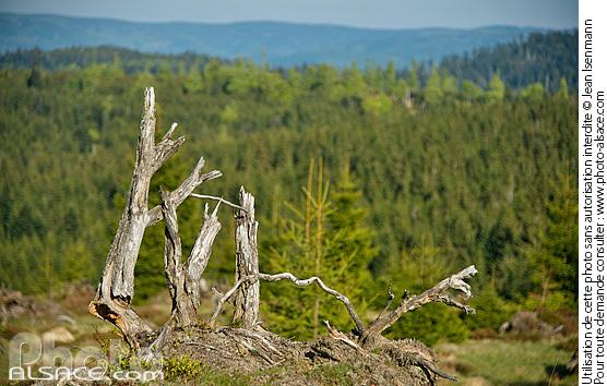 Photo souche d 39 arbre les hautes chaumes moussey for 88 haute vosges