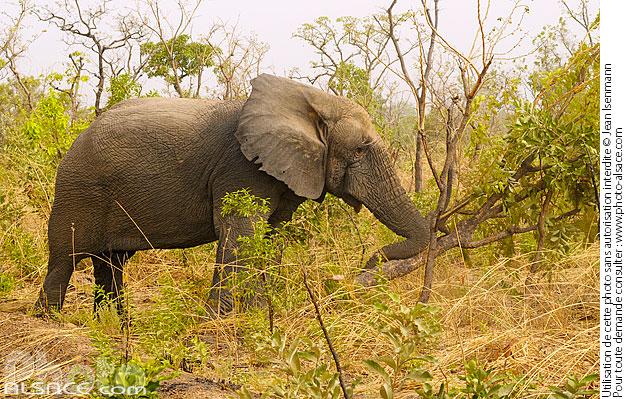 photo vieil lephant d 39 afrique loxodonta africana sans d fense entrain de d raciner un arbre. Black Bedroom Furniture Sets. Home Design Ideas