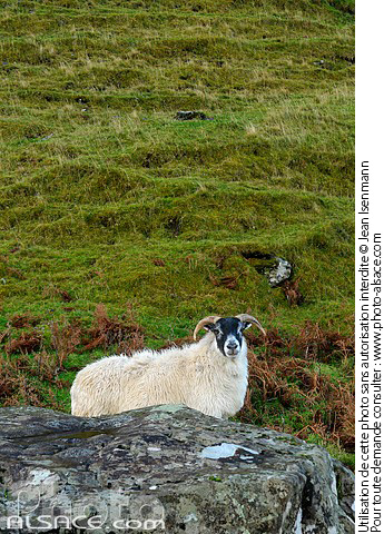 Photo : Mouton (Blackface Sheep), Talisker Bay, Isle of Skye, Highlands, Scotland, United Kingdom - (ref. n52797) © Jean Isenmann