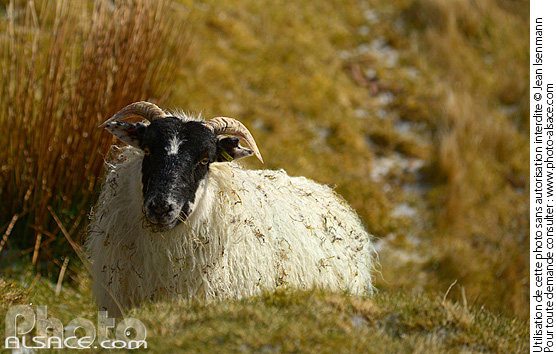 Photo : Mouton (Blackface Sheep), Quiraing, Isle of Skye, Highlands, Scotland, United Kingdom - (ref. n69679) © Jean Isenmann