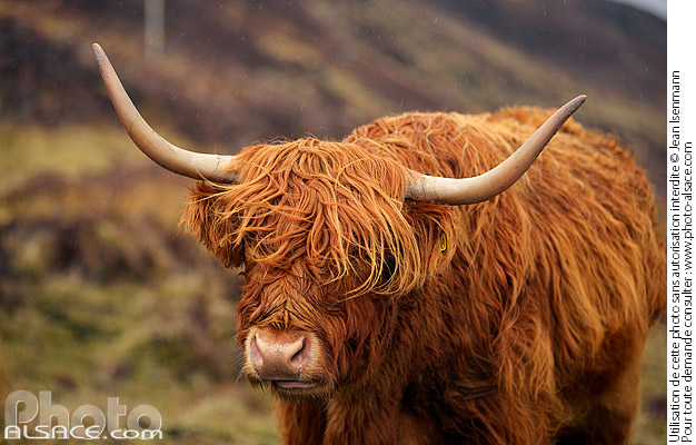 Photo : Vache Highland, Isle of Skye, Highlands, Scotland, United Kingdom - (ref. n69774) © Jean Isenmann