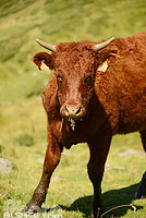 Photo : Vache Salers, Saint-Jacques-des-Blats, Parc naturel régional des Volcans d'Auvergne, Cantal (15)