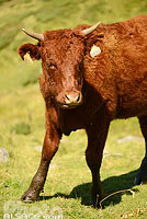 Photo : Vache Salers, Saint-Jacques-des-Blats, Parc naturel régional des Volcans d'Auvergne, Cantal (15), Auvergne, France