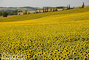 Photo : Champ de tournesol, Flamarens, Gers (32)