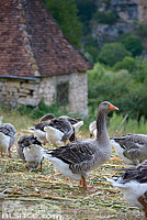 Photo : Elevage d'oies, Lacave, Lot (46)