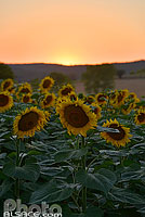 Photo : Champ de tournesol au coucher de soleil, Nérac, Lot-et-Garonne (47)