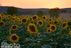 Photo : Champ de tournesol au coucher de soleil, Nérac, Lot-et-Garonne (47), Aquitaine, France