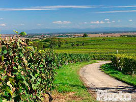Photo : Vignoble de Rosheim, Bas-Rhin (67)