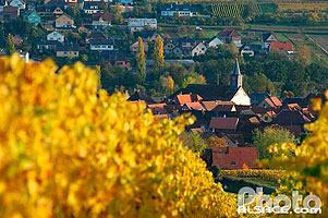 Photo : Les vignes et l'eglise Saint-Laurent, Bergbieten, Bas-Rhin (67)