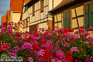 Photo : Geranium et colombages, Wickersheim-Wilshausen, Pays de Hanau, Bas-Rhin (67)