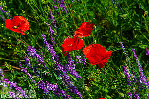 Photo : Coquelicot (Papaver Rhoeas), Bas-Rhin (67), Alsace, France