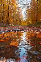 Route forestière du Breitschloss en automne, La Petite Pierre, Parc naturel régional des Vosges du Nord, Bas-Rhin (67), Alsace, France