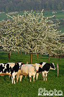 Photo : Vache Primholstein, region de Saverne, Bas-Rhin (67)