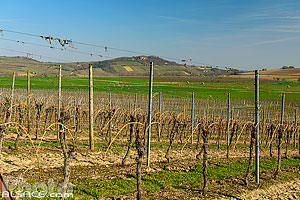 Photo : Vignoble Grand Cru Altenberg, Bergbieten, Bas-Rhin (67)