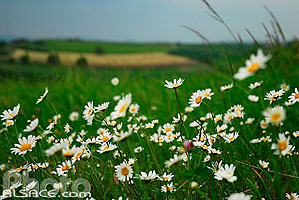 Photo : Marguerites, Reutenbourg, Bas-Rhin (67), Alsace, France