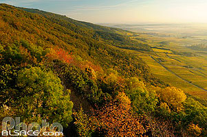 Photo : Forêt et vignoble de Scherwiller au lever du soleil, Scherwiller, Bas-Rhin (67)