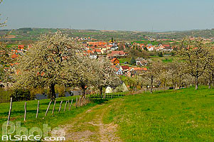 Photo : Verger au printemps, Fuchsberg, Cosswiller, Bas-Rhin (67), Alsace, France