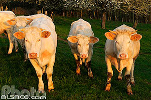Photo : Veau Charolais, Bas-Rhin (67)