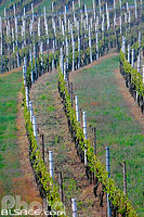 Photo : Vignes, Scherwiller, Bas-Rhin (67)