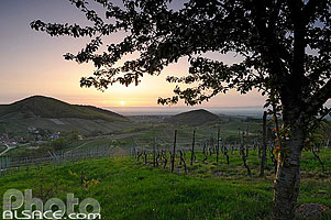 Photo : Vignoble de Reichsfeld, Bas-Rhin (67)