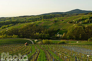 Photo : Vignoble de de Reichsfeld, Bas-Rhin (67), Alsace, France