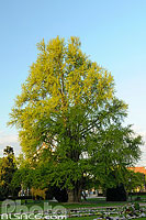 Photo : Ginkgo biloba, Place de la République, Strasbourg, Bas-Rhin (67), Alsace, France