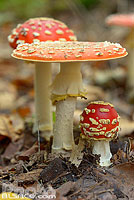 Photo : Amanite tue-mouches (Amanita Muscaria), Forêt de Saverne, Bas-Rhin (67), Alsace, France