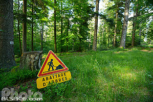 Photo : Travaux forestiers (Abattage d'arbres), Forêt de Haslach, Still, Bas-Rhin (67)