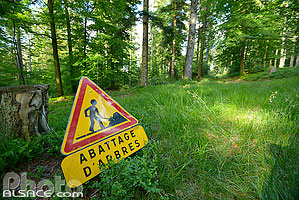 Photo : Travaux forestiers (Abattage d'arbres), Forêt de Haslach, Still, Bas-Rhin (67), Alsace, France