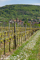 Photo : Vignoble de Rosheim au printemps et le Bischenberg, Bas-Rhin (67)