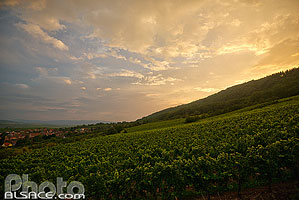 Photo : Vignoble de Wangen, Bas-Rhin (67)
