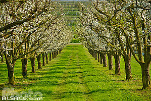Photo : Arbres fruitiers en fleurs dans un verger au printemps, Traenheim, Bas-Rhin (67)