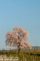 Photo : Amandier (Prunus dulcis) au printemps, Mandelberg, Mittelwihr, Haut-Rhin (68), Alsace, France