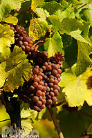 Photo : Grappe de raisin de Pinot Gris, Vignoble du Rangen (Grand cru), Thann, Haut-Rhin (68)