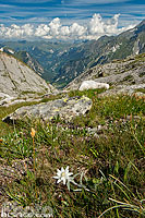 Photo : Edelweiss (Leontopodium alpinum), Parc national de la Vanoise, Savoie (73)