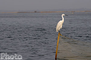 Photo : Aigrette garzette (Egretta garzetta), Lac Nokoué, So-Ava, Atlantique, Bénin