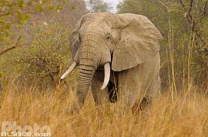 Photo : Bénin, Atakora, Parc national de la Pendjari, Eléphant d'Afrique (Loxodonta africana) // Benin, Atakora, Pendjari National Park, African Elephant (Loxodonta africana)