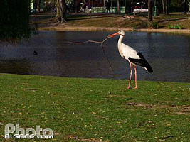 Photo : Cigogne blanche (ciconia cicogna), Bas-Rhin (67)