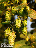 Photo : Fleurs de Houblon, Truchtersheim, Bas-Rhin (67), Alsace, France