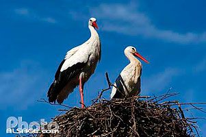 Photo : Couple de cigogne blanche (ciconia cicogna), Bas-Rhin (67)