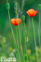 Photo : Coquelicot, Bas-Rhin (67), Alsace, France
